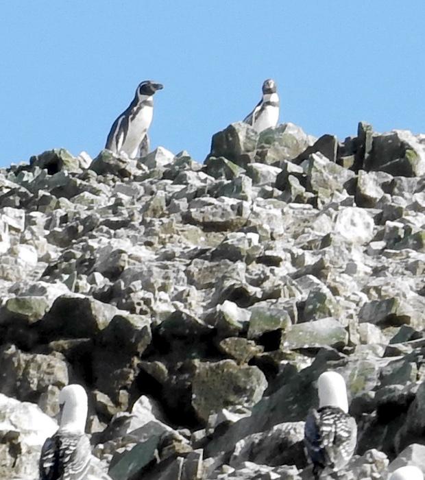 5-ballestas-island-humboldt-penguin