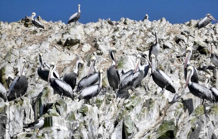 6-ballestas-island-peruvian-pelicans