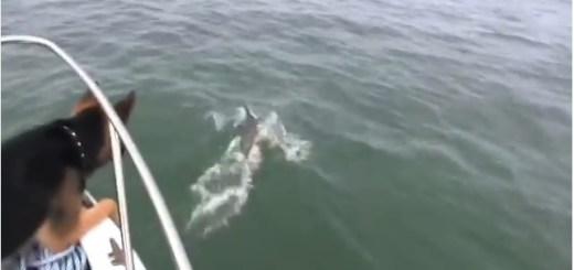 pastor alemao salta para oceano para brincar com golfinho