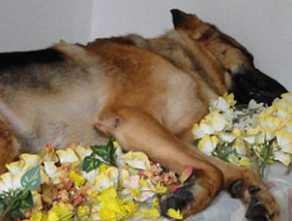 heroi canino