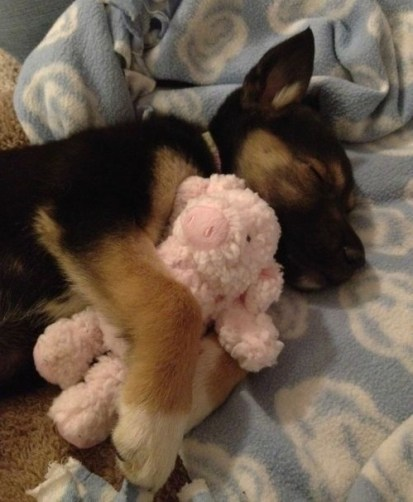 german-shepherd-at-snuggling10