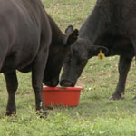 Cattle Tub and block supplements are a great option to keep cattle performing at their peak without additional labor or management needs.