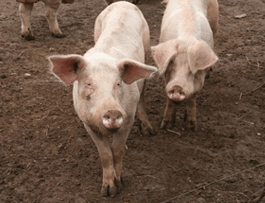 SwineFeatureImage