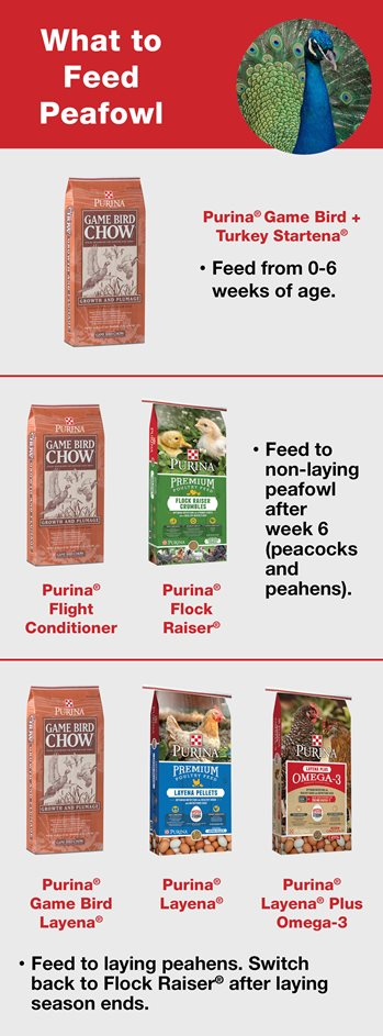 What to feed peafowl