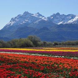 Tulipanes patagonia Trevelin