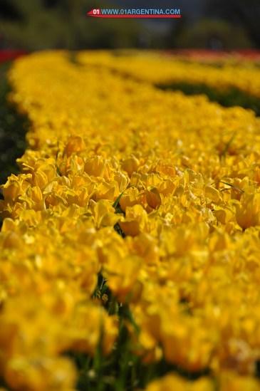 tulipans07