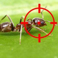 Cómo matar hormigas en casa