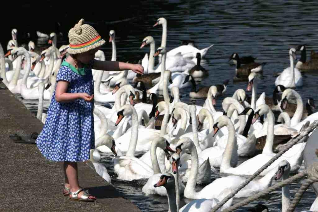 Mädchen füttern Enten und Schwäne