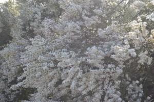 Retama en Flor