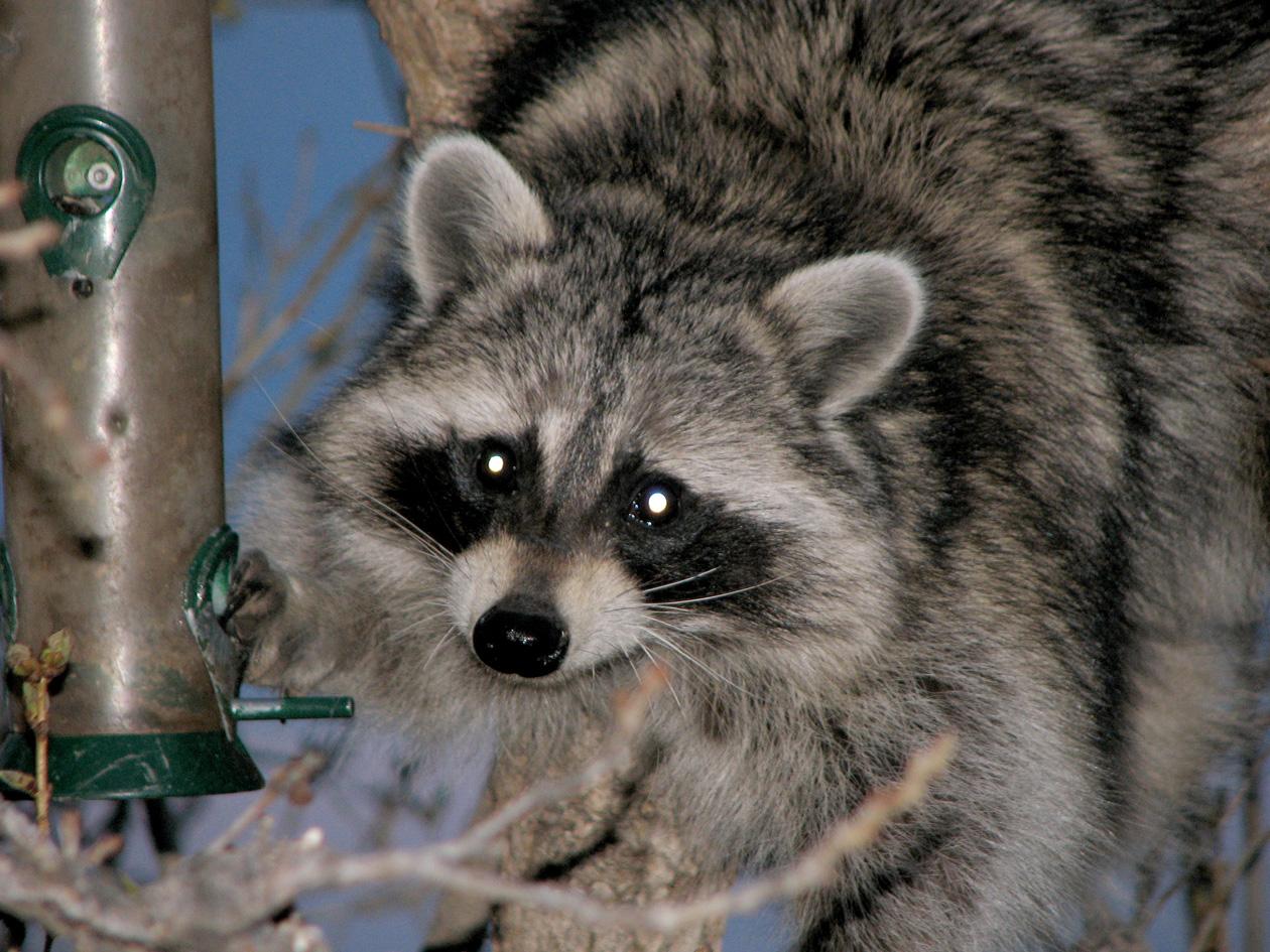 Fun With Raccoons Patrice Rhoades Baum Marketing Consultant Amp Branding Expert