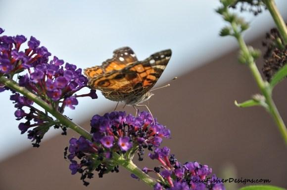 Butterfly on Black Knight Butterfly Bush