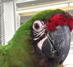 Military Macaw Close Up #2