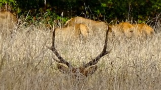 elk-stag-antlers-redwoods-2016
