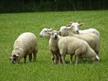 sheep cambridge 2017