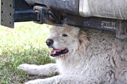 Guard dog Reuter 7-17