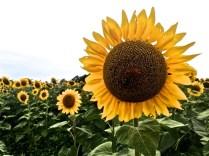 sunflower close up 17