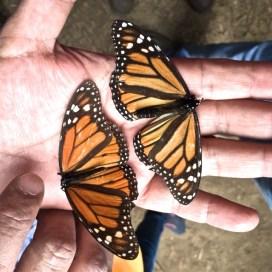 Monarchs M vs F