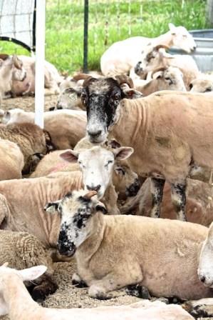 Sheep at trial 6-18