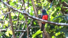 Slaty-tailed Trogon 2 CR 2-19