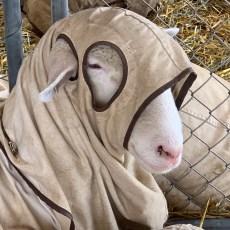 medieval sheep 2019