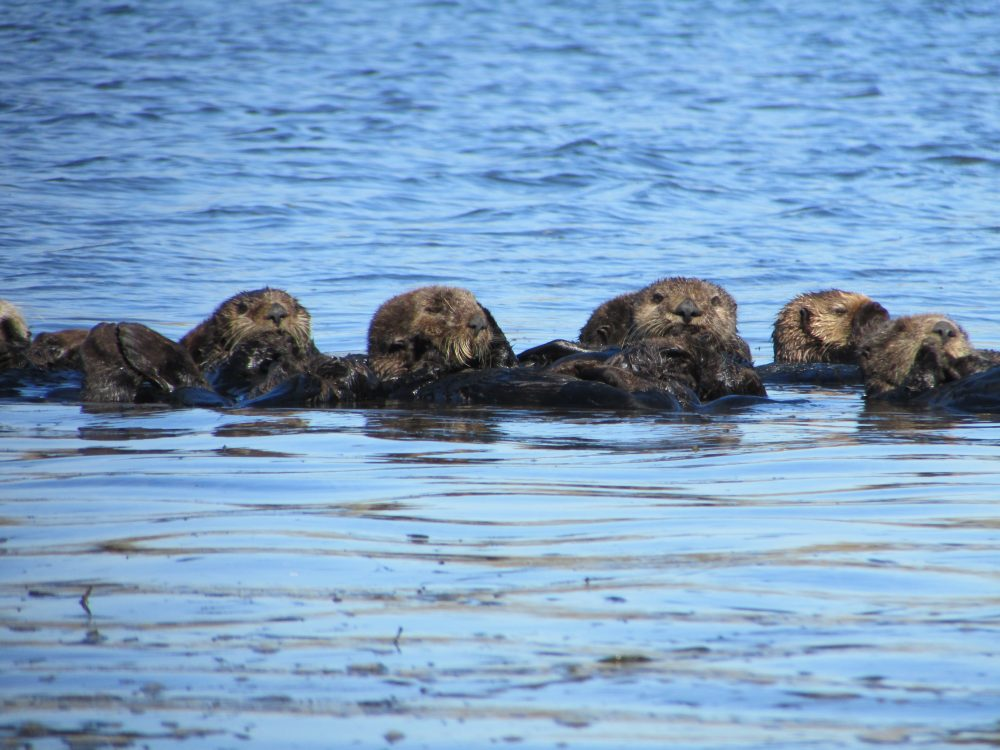 Saving sea otters: Sharing a trophic cascade