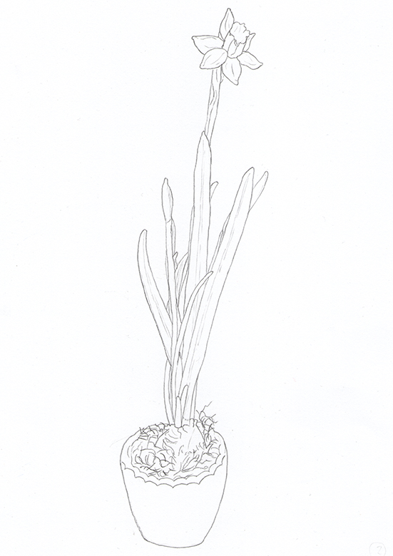 Narzisse 2 Bleistift
