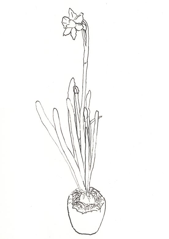 Naturstudie Narzisse 4 Bambusfeder