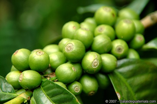 extrato cha verde - Extrato de café verde emagrece