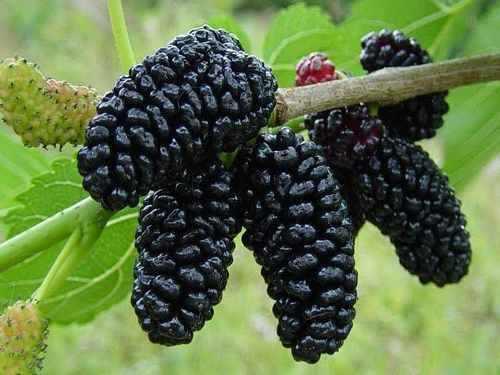 mudas de amora preta frutifera 1000 cada MLB O 4626323393 072013 - Aposte nos alimentos de cor escura!