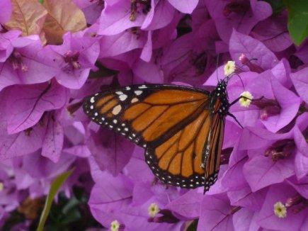Monarch Butterfly Madeira