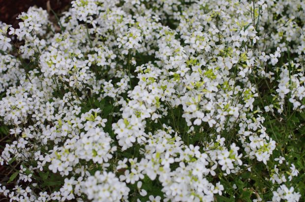 some sort of ground cover that i don't know the name of, but love and has the most delicate sweet smell.