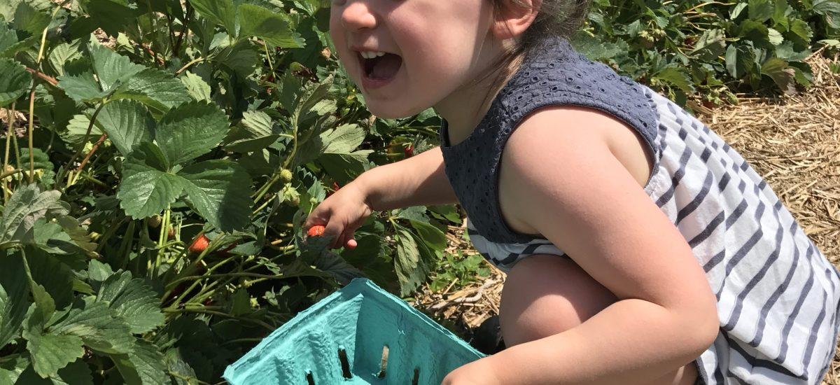 Strawberry Picking – Bowman's Orchards