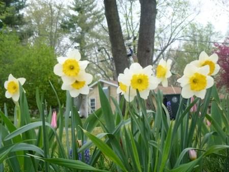 Daffodils stroll