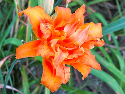 Daylilies (Hemorcalis) are a low maintenance, easy care flowers, needing little attention.