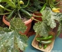 zucchini-astia2