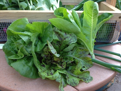 Mature lettuce has burgundy colored speckles.