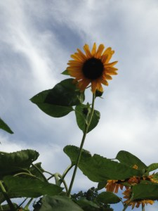 I am guessing this sunflower is 12 ' tall.
