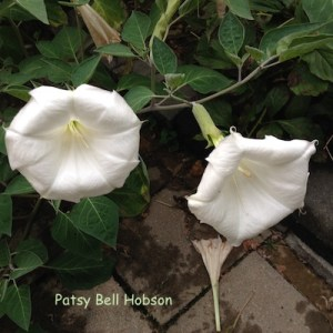 Night blooming Datura.