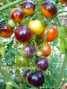 This is Indigo Rose tomato.