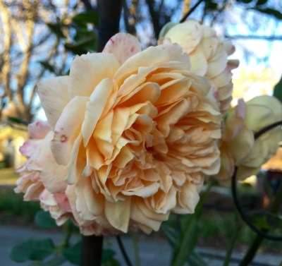 "I posted one of theroses acouple of weeks ago and said ""last rose of the year"" but then the precious, fragrant rose quickly followed."