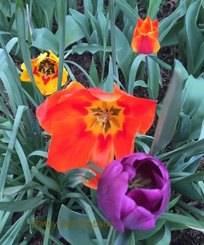 reblooming Darwin tulips