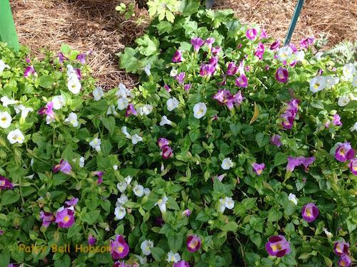 Wishbone Flower (Torenia hybrid)