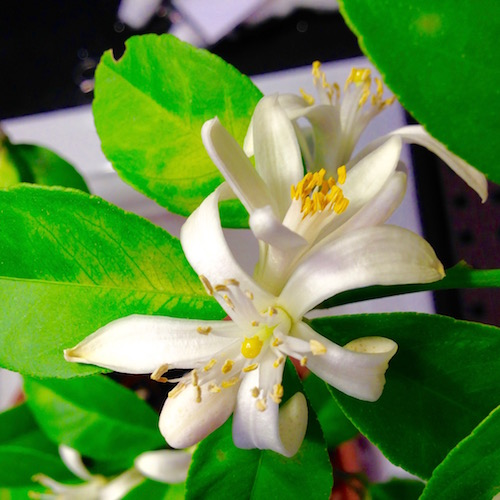 Meyer lemon flowers