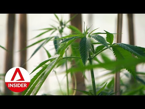Interior Thailand's First Legalised Cannabis Plantation