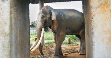 Thailand's Dirty Secret – The Elephants of Thailand