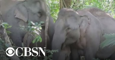 11 elephants die after falling into waterfall in Thailand