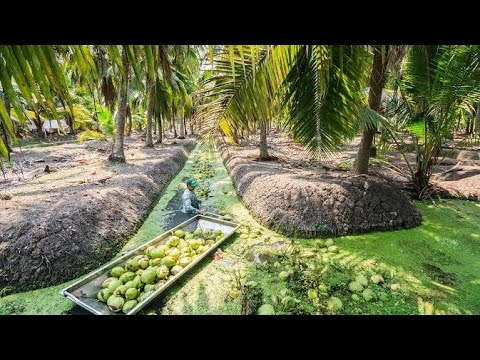Coconut Tree Plantation in Thailand.. Very edifying Agriculture Know-how