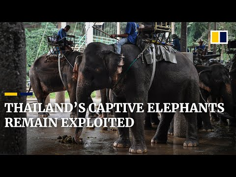 Captive elephants in Thailand's animal tourism industry remain exploited