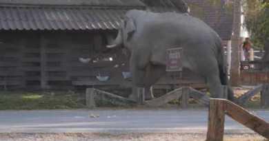 Wild Bull Elephant in Musth, Khao Yai Nationwide Park, Thailand. Part2