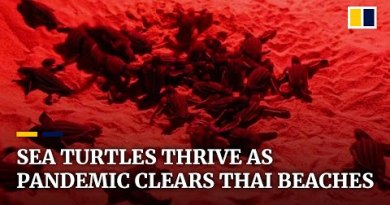 Thailand sees file sea turtle hatchlings as coronavirus pandemic clears tourists from beaches